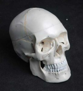 anatomy tools skull life size model