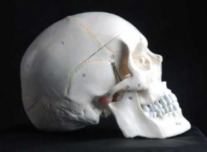 anatomy tools skull model